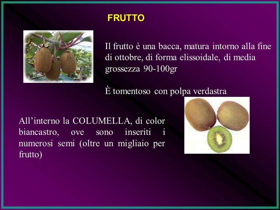 FRUTTO Il frutto è una bacca, matura intorno alla fine di ottobre, di forma elissoidale, di media grossezza 90-100gr.