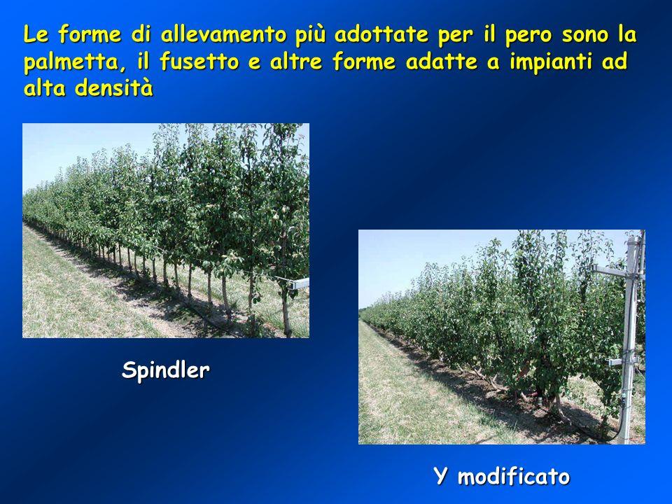 Le forme di allevamento più adottate per il pero sono la palmetta, il fusetto e altre forme adatte a impianti ad alta densità