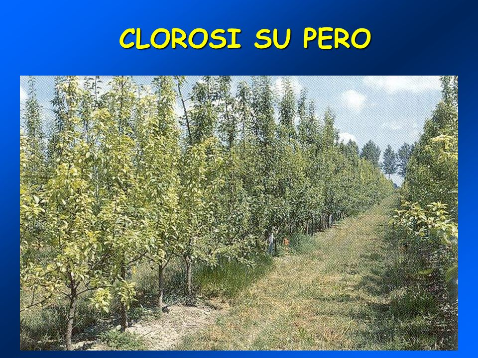 CLOROSI SU PERO