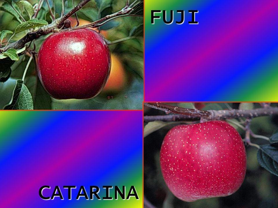 FUJI CATARINA