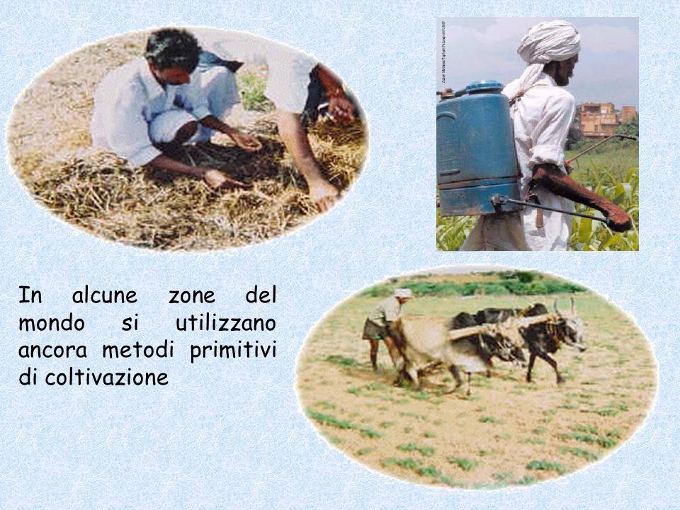 In alcune zone del mondo si utilizzano ancora metodi primitivi di coltivazione