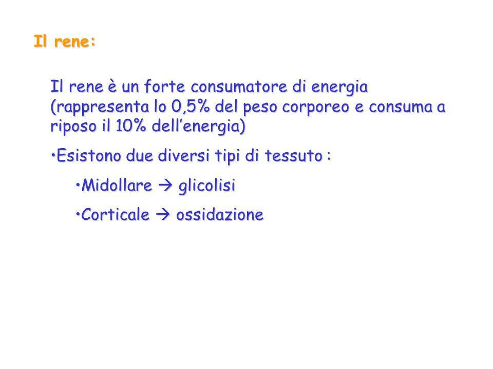 Il rene:Il rene è un forte consumatore di energia (rappresenta lo 0,5% del peso corporeo e consuma a riposo il 10% dell'energia)