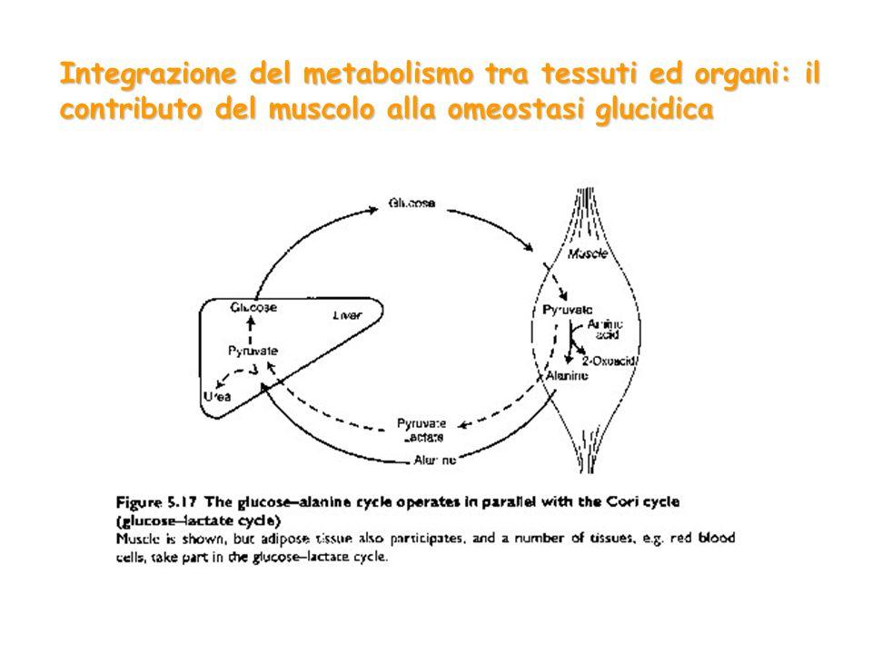 Integrazione del metabolismo tra tessuti ed organi: il contributo del muscolo alla omeostasi glucidica