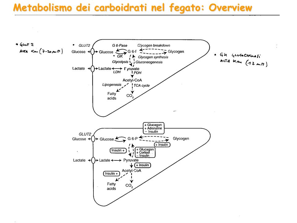 Metabolismo dei carboidrati nel fegato: Overview