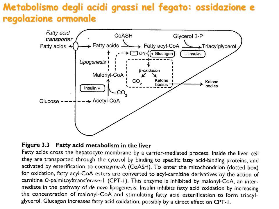 Metabolismo degli acidi grassi nel fegato: ossidazione e regolazione ormonale