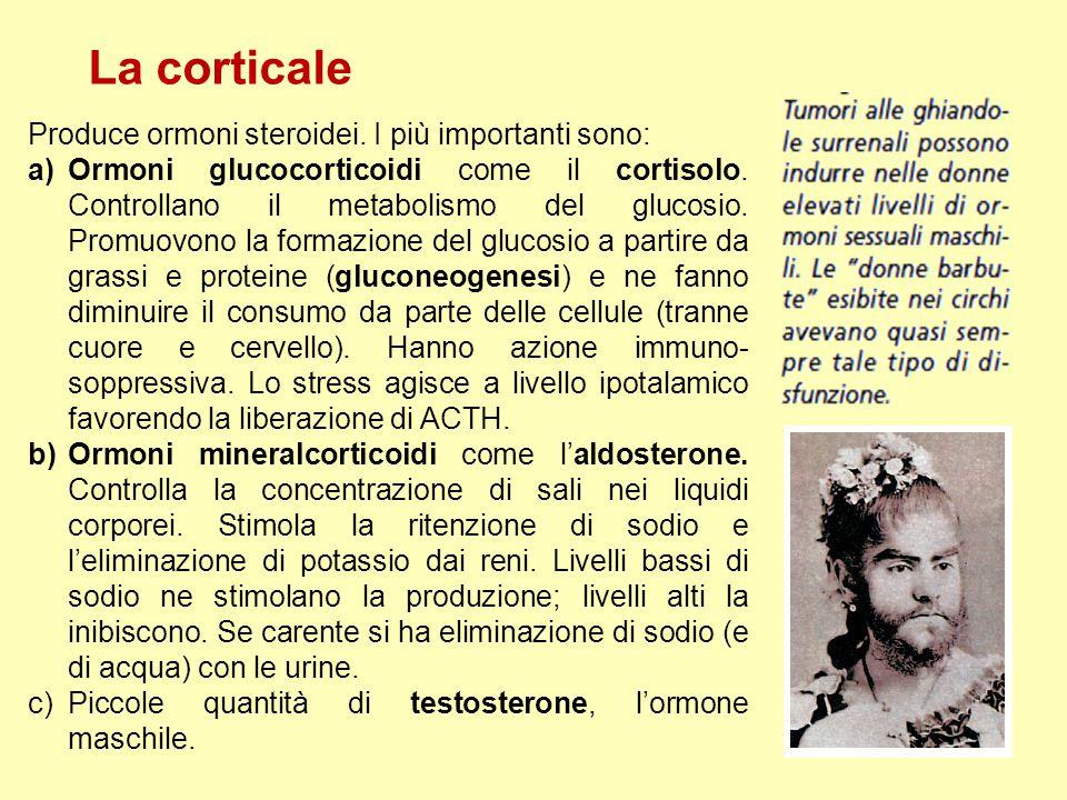 La corticale Produce ormoni steroidei. I più importanti sono: