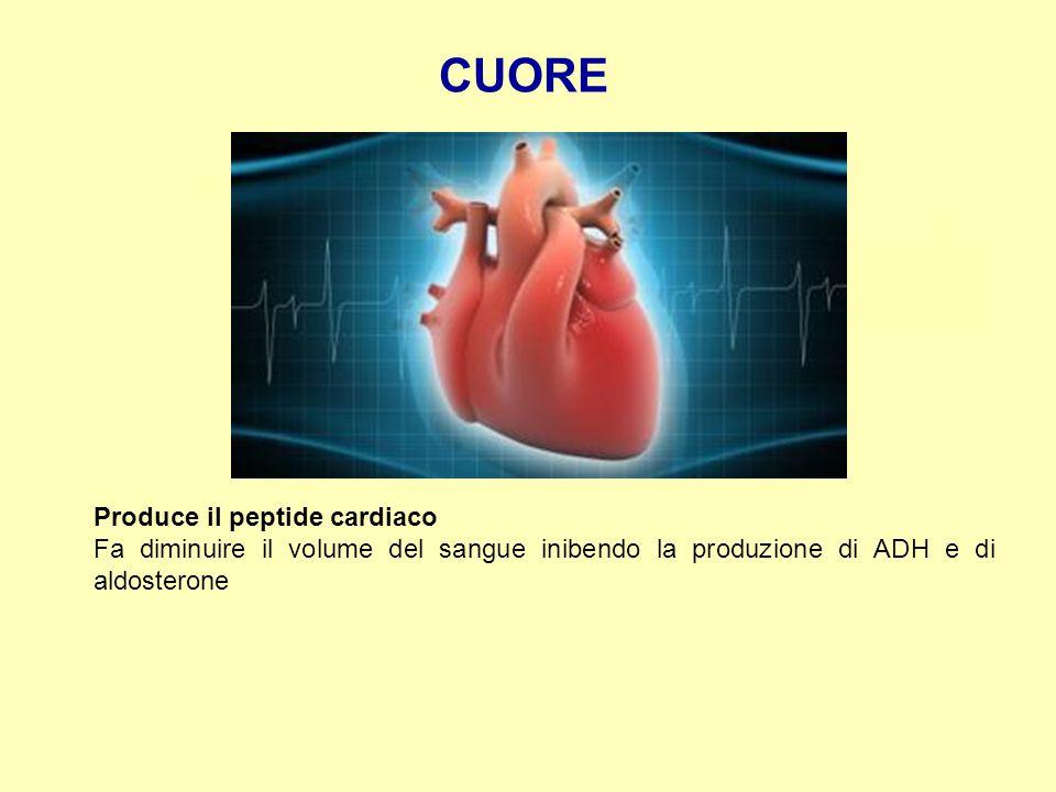 CUORE Produce il peptide cardiaco