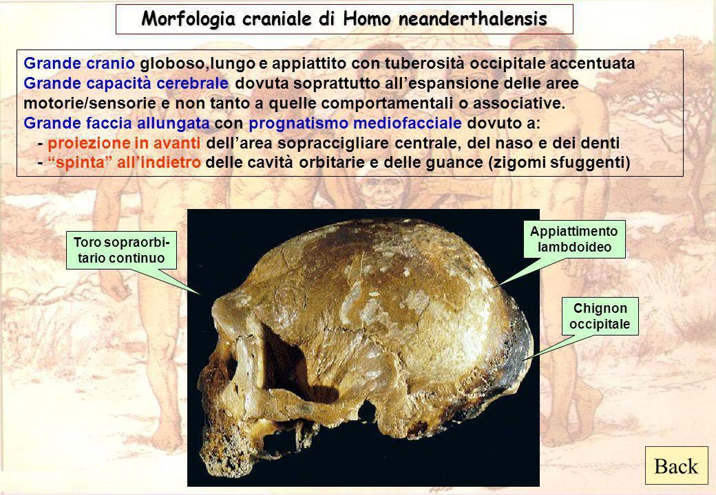 Back Morfologia craniale di Homo neanderthalensis