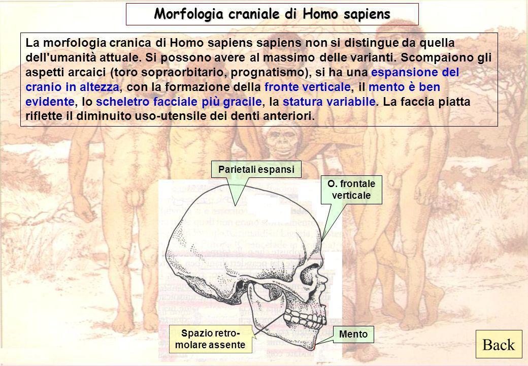 Morfologia craniale di Homo sapiens Spazio retro-molare assente