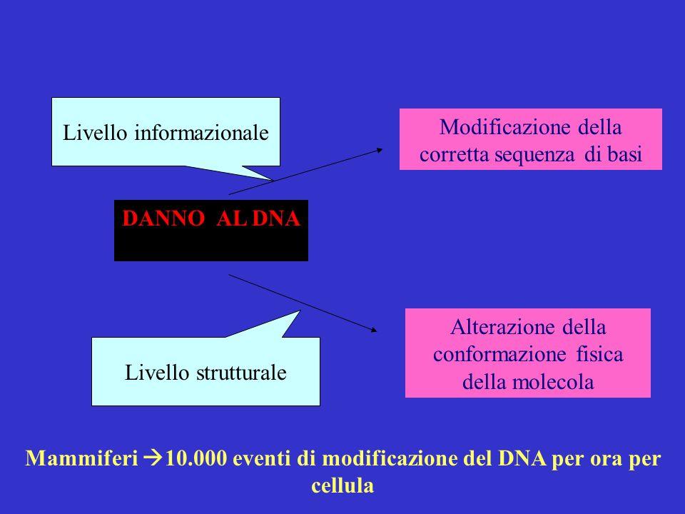 Mammiferi 10.000 eventi di modificazione del DNA per ora per cellula