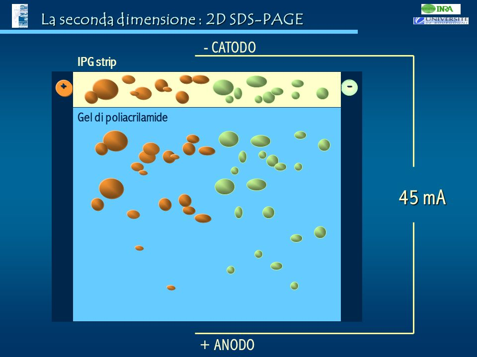 45 mA La seconda dimensione : 2D SDS-PAGE - CATODO + + ANODO IPG strip
