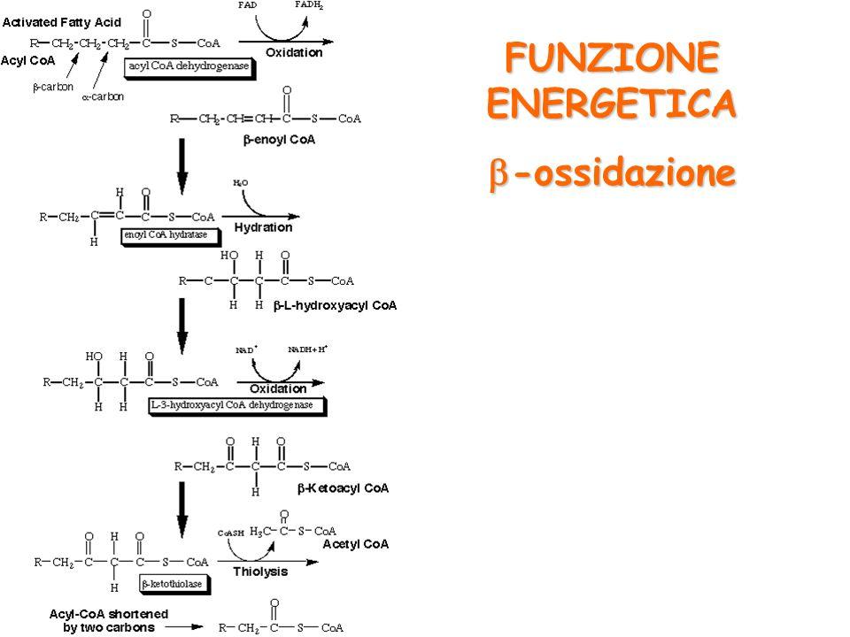 FUNZIONE ENERGETICA b-ossidazione