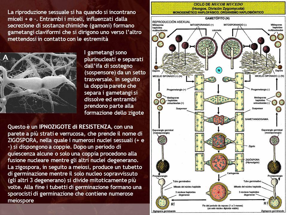 La riproduzione sessuale si ha quando si incontrano miceli + e -
