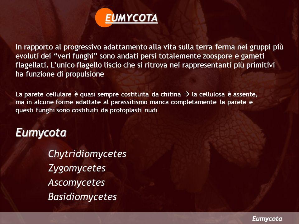 Eumycota EUMYCOTA Chytridiomycetes Zygomycetes Ascomycetes