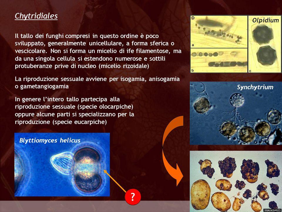 Chytridiales Olpidium