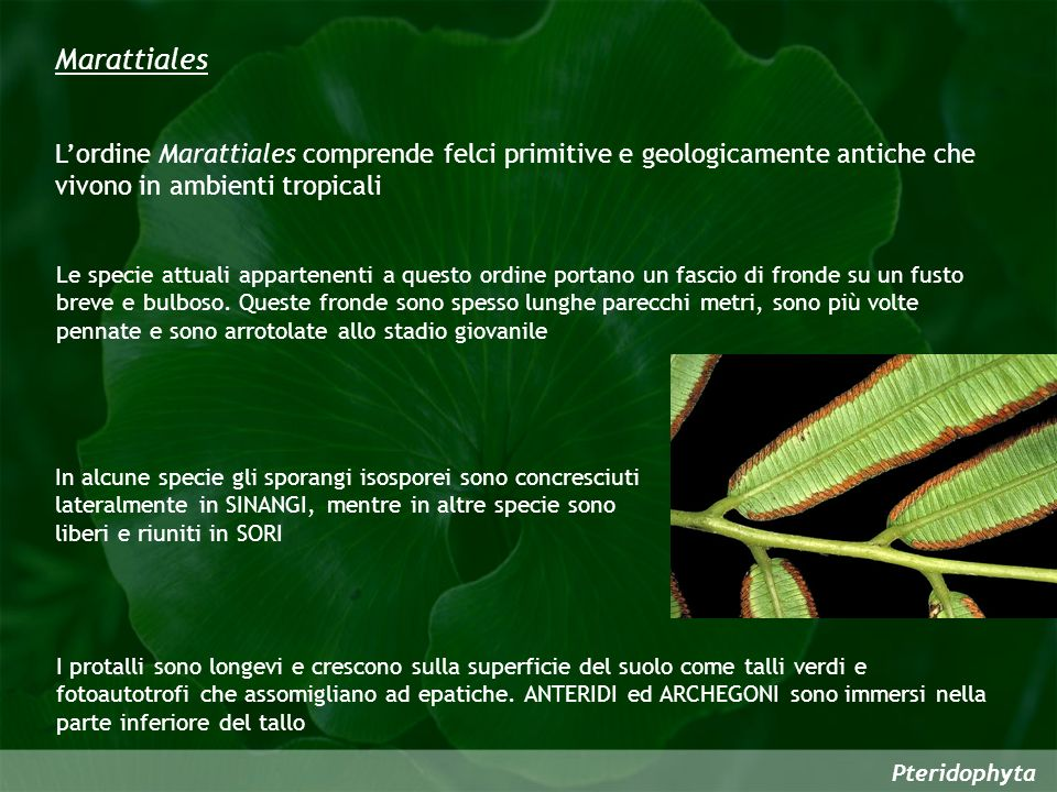Marattiales L'ordine Marattiales comprende felci primitive e geologicamente antiche che vivono in ambienti tropicali.