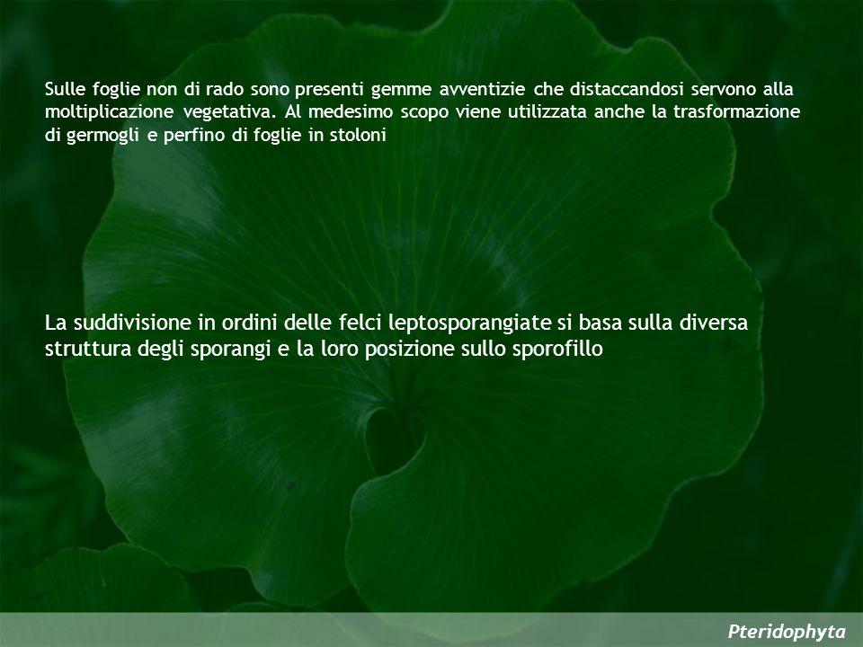 Sulle foglie non di rado sono presenti gemme avventizie che distaccandosi servono alla moltiplicazione vegetativa. Al medesimo scopo viene utilizzata anche la trasformazione di germogli e perfino di foglie in stoloni