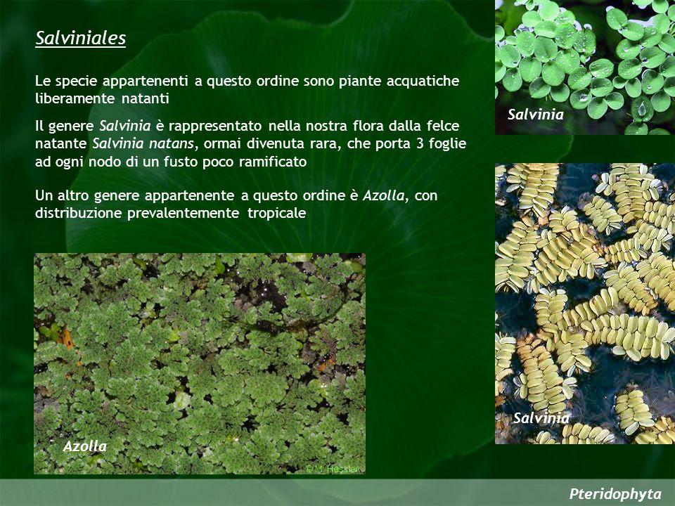 Salviniales Le specie appartenenti a questo ordine sono piante acquatiche liberamente natanti. Salvinia.