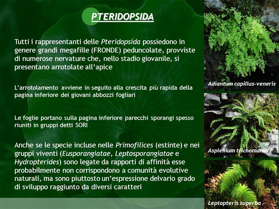 PTERIDOPSIDA