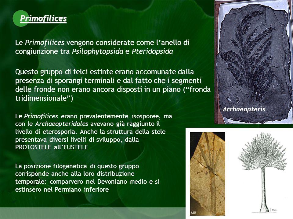 Primofilices Le Primofilices vengono considerate come l'anello di congiunzione tra Psilophytopsida e Pteridopsida.