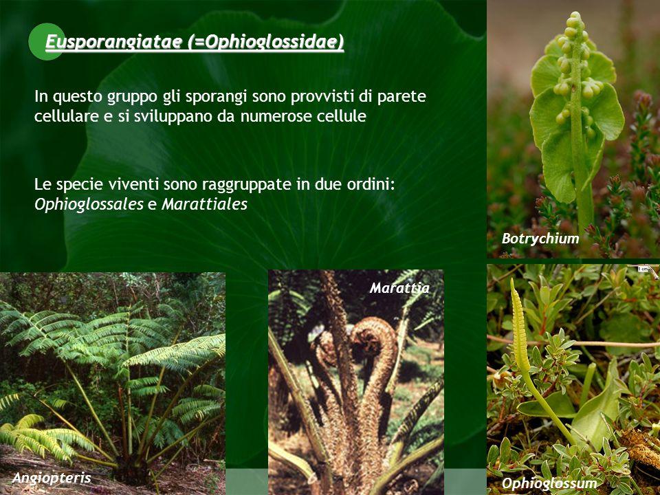 Eusporangiatae (=Ophioglossidae)