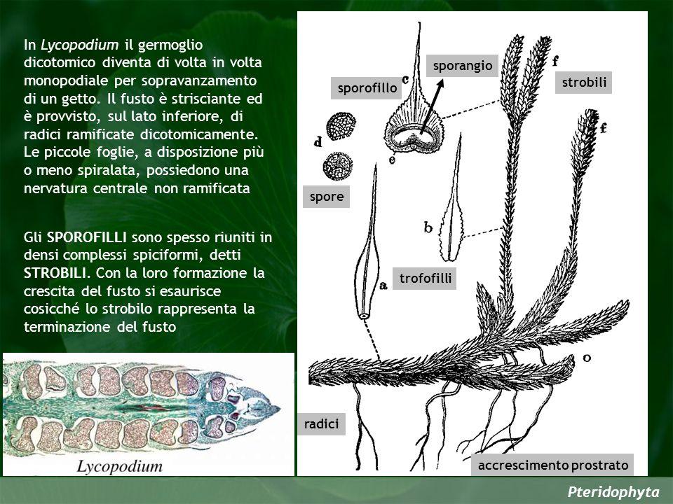 In Lycopodium il germoglio dicotomico diventa di volta in volta monopodiale per sopravanzamento di un getto. Il fusto è strisciante ed è provvisto, sul lato inferiore, di radici ramificate dicotomicamente. Le piccole foglie, a disposizione più o meno spiralata, possiedono una nervatura centrale non ramificata