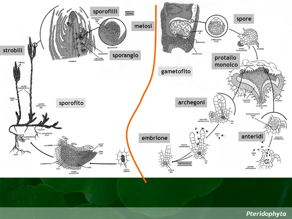Pteridophyta sporofilli spore meiosi strobili sporangio protallo