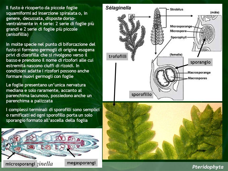 Il fusto è ricoperto da piccole foglie squamiformi ad inserzione spiralata o, in genere, decussata, disposte dorso-ventralmente in 4 serie: 2 serie di foglie più grandi e 2 serie di foglie più piccole (anisofillia)