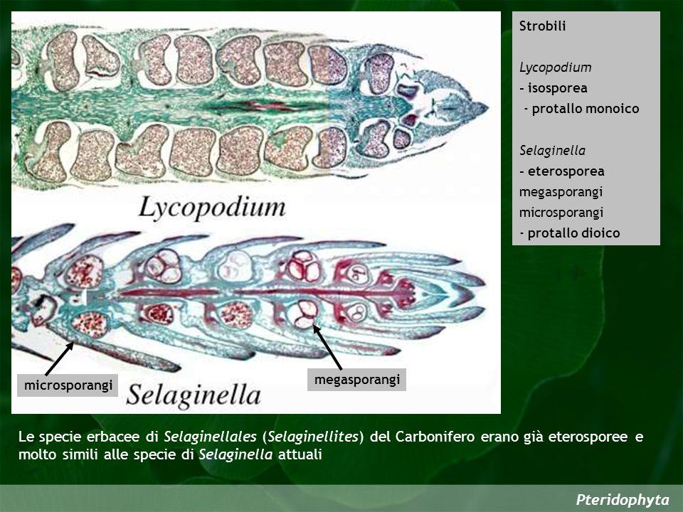 Strobili Lycopodium. - isosporea. - protallo monoico. Selaginella. - eterosporea. megasporangi.