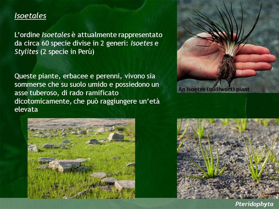 Isoetales L'ordine Isoetales è attualmente rappresentato da circa 60 specie divise in 2 generi: Isoetes e Stylites (2 specie in Perù)