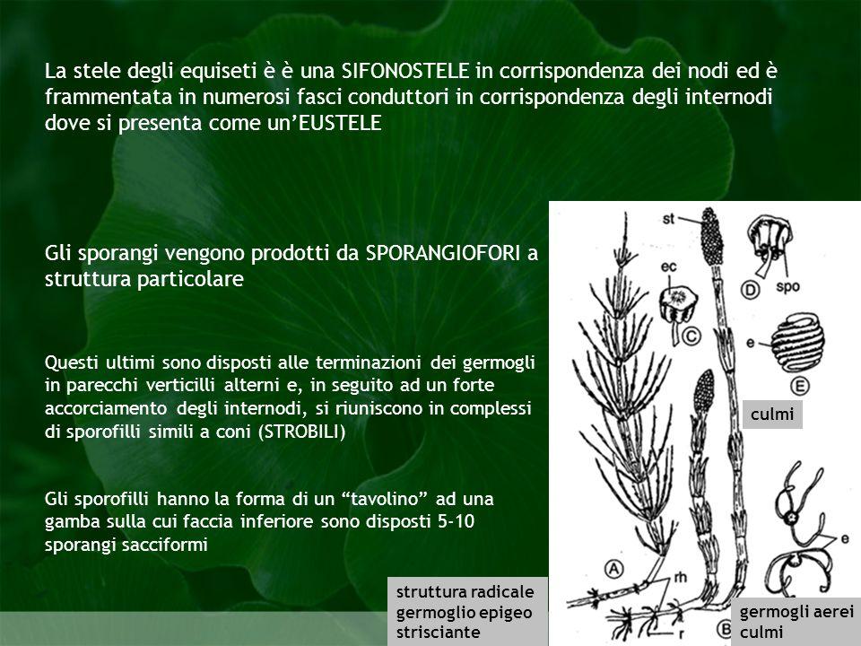 Gli sporangi vengono prodotti da SPORANGIOFORI a struttura particolare