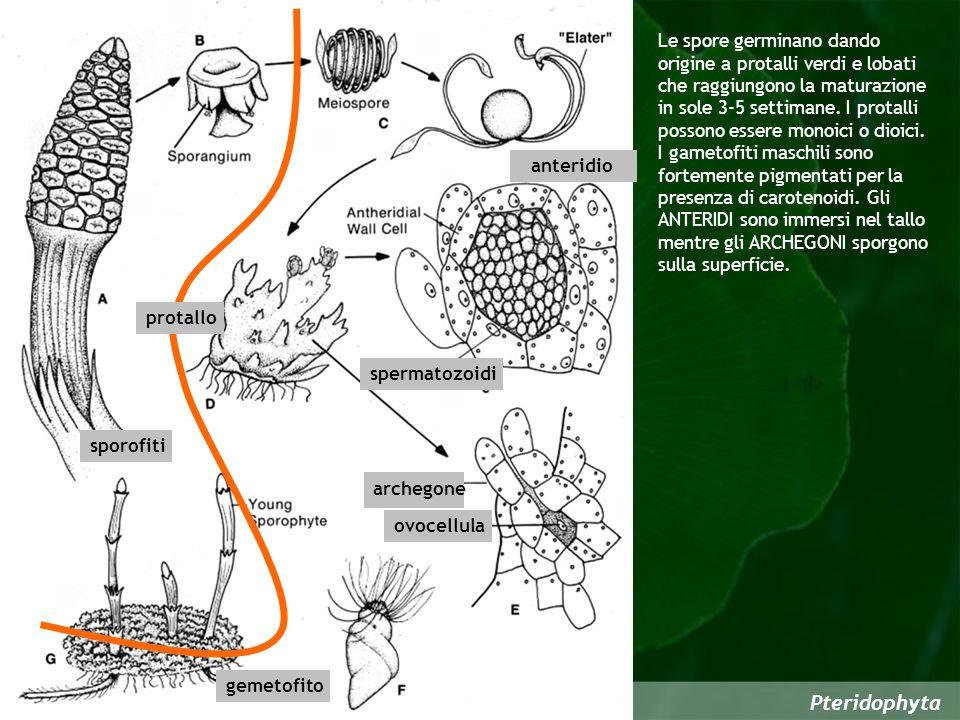 Le spore germinano dando origine a protalli verdi e lobati che raggiungono la maturazione in sole 3-5 settimane. I protalli possono essere monoici o dioici.