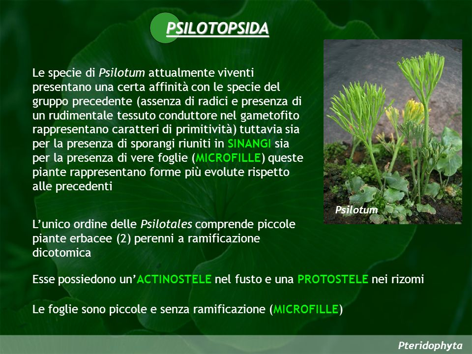 PSILOTOPSIDA