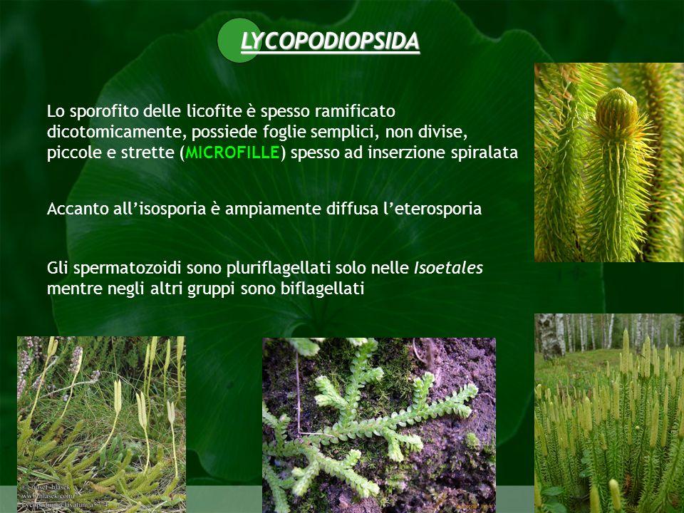LYCOPODIOPSIDA