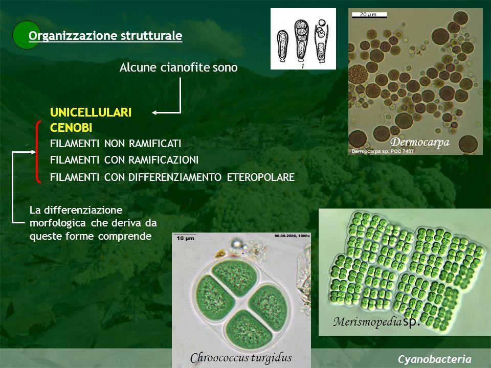 Dermocarpa Merismopedia sp. Chroococcus turgidus