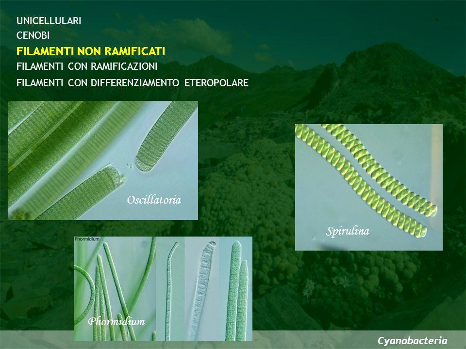 Oscillatoria Spirulina Phormidium FILAMENTI NON RAMIFICATI