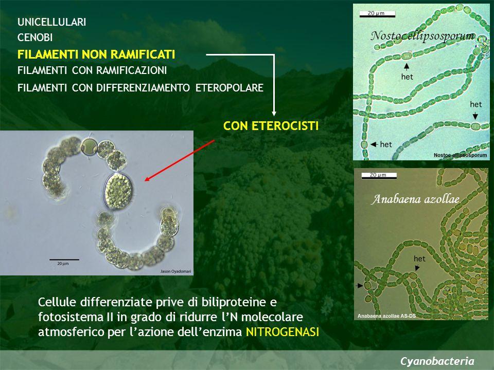 Nostoc ellipsosporum Anabaena azollae FILAMENTI NON RAMIFICATI