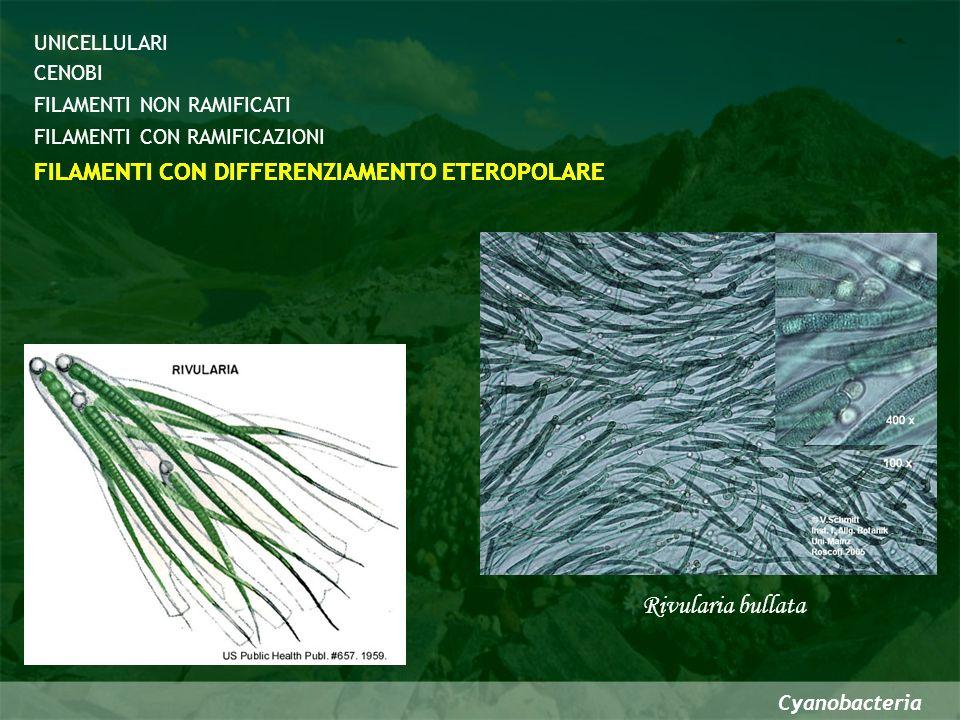 Rivularia bullata FILAMENTI CON DIFFERENZIAMENTO ETEROPOLARE