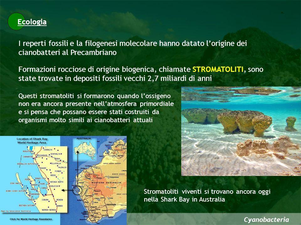 Ecologia I reperti fossili e la filogenesi molecolare hanno datato l'origine dei cianobatteri al Precambriano.