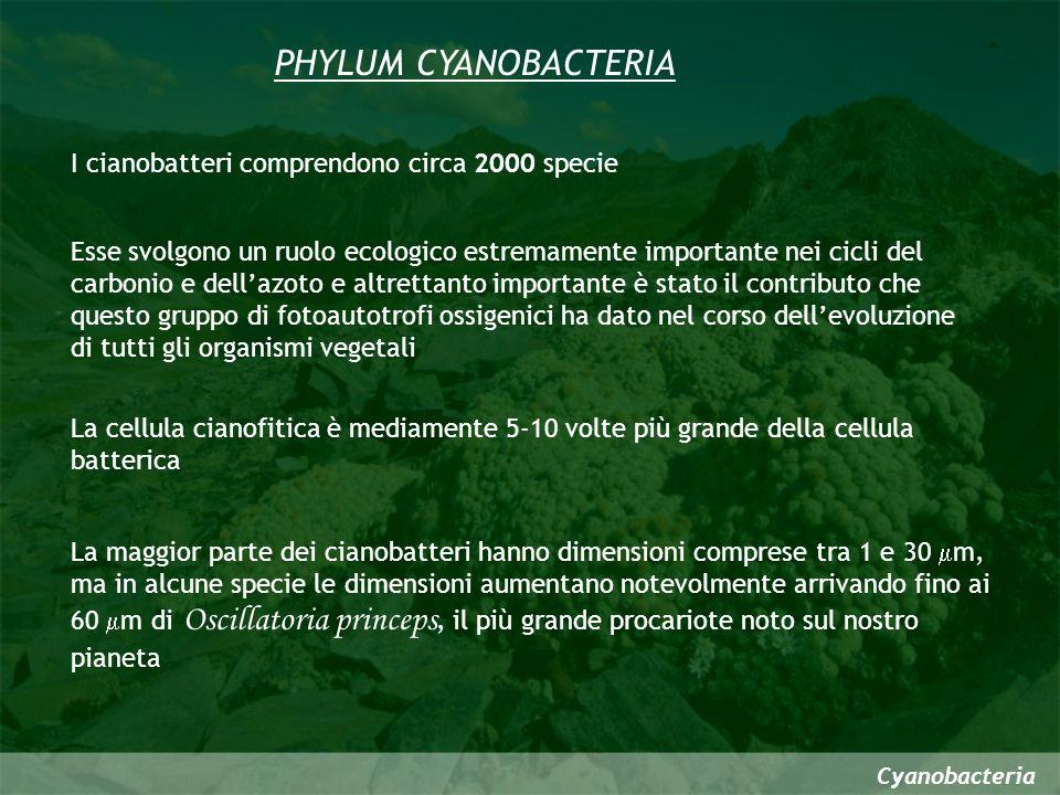 PHYLUM CYANOBACTERIA I cianobatteri comprendono circa 2000 specie