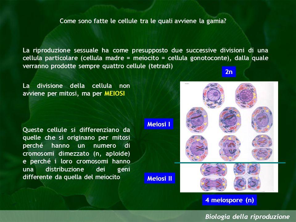 Come sono fatte le cellule tra le quali avviene la gamia