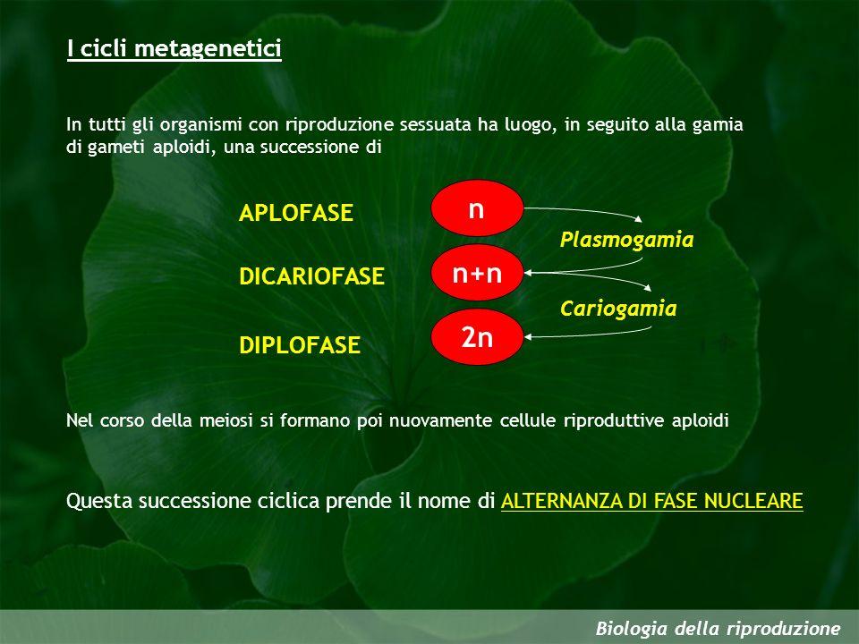 n n+n 2n I cicli metagenetici APLOFASE DICARIOFASE DIPLOFASE