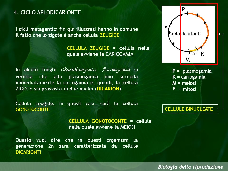 4. CICLO APLODICARIONTE P K M