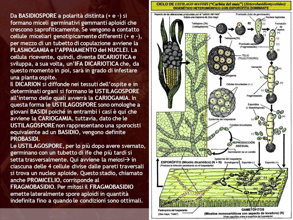 Da BASIDIOSPORE a polarità distinta (+ e -) si formano miceli germinativi gemmanti aploidi che crescono saprofiticamente. Se vengono a contatto cellule miceliari genotipicamente differenti (+ e -), per mezzo di un tubetto di copulazione avviene la PLASMOGAMIA e l'APPAIAMENTO dei NUCLEI. La cellula ricevente, quindi, diventa DICARIOTICA e sviluppa, a sua volta, un'IFA DICARIOTICA che, da questo momento in poi, sarà in grado di infestare una pianta ospite.