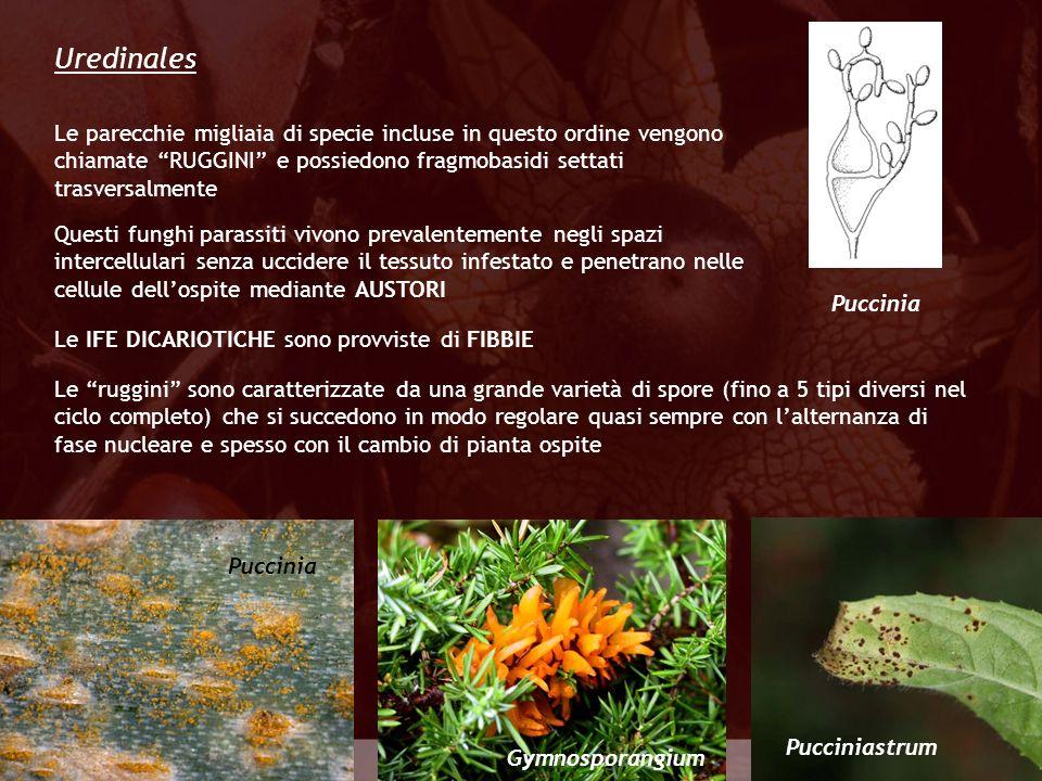 Uredinales Le parecchie migliaia di specie incluse in questo ordine vengono chiamate RUGGINI e possiedono fragmobasidi settati trasversalmente.