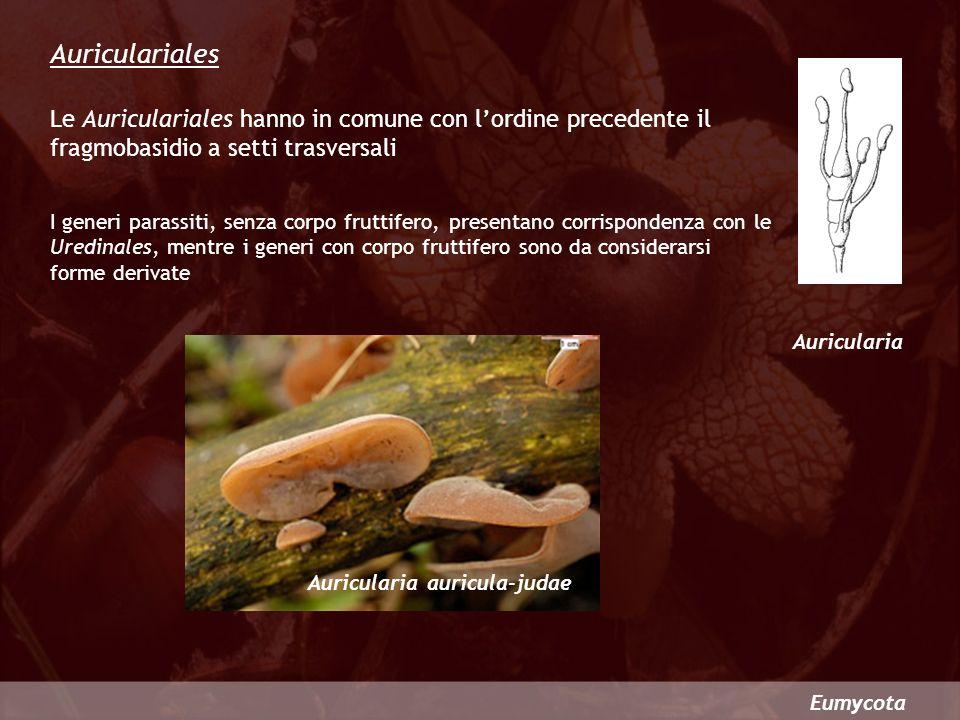Auriculariales Le Auriculariales hanno in comune con l'ordine precedente il fragmobasidio a setti trasversali.