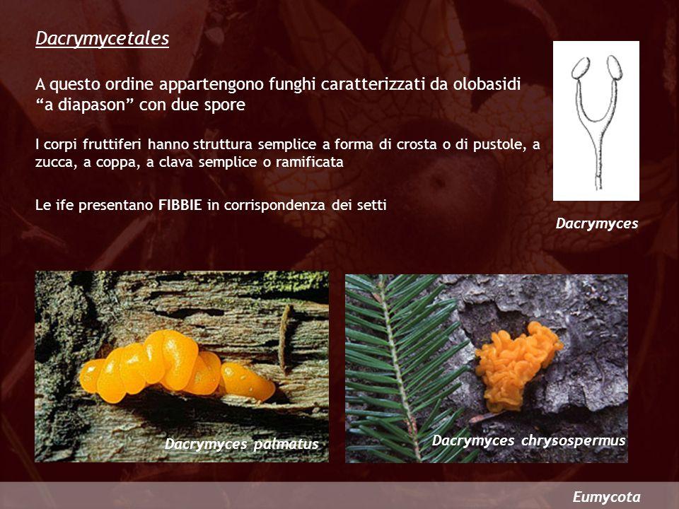 Dacrymycetales A questo ordine appartengono funghi caratterizzati da olobasidi a diapason con due spore.