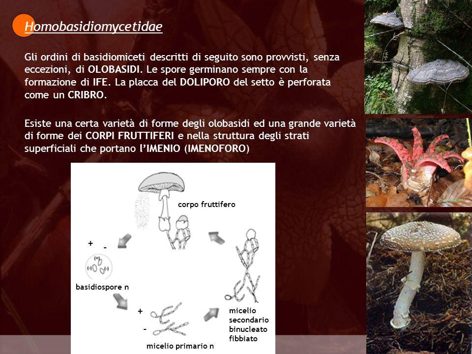 Homobasidiomycetidae