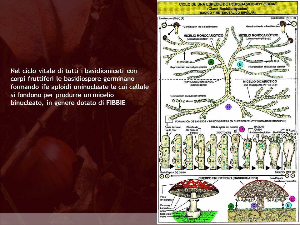 Nel ciclo vitale di tutti i basidiomiceti con corpi fruttiferi le basidiospore germinano formando ife aploidi uninucleate le cui cellule si fondono per produrre un micelio binucleato, in genere dotato di FIBBIE