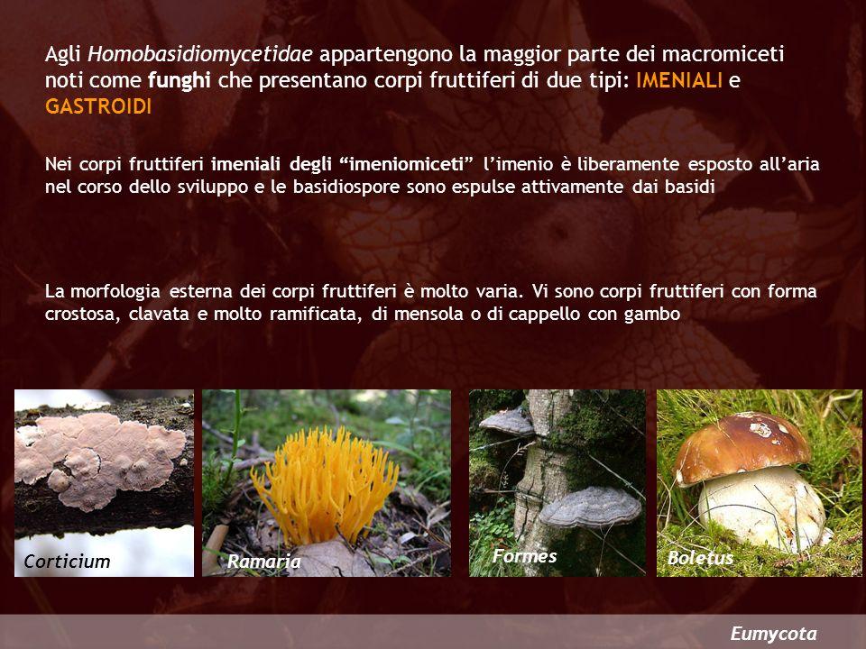 Agli Homobasidiomycetidae appartengono la maggior parte dei macromiceti noti come funghi che presentano corpi fruttiferi di due tipi: IMENIALI e GASTROIDI